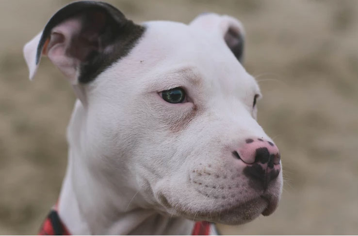 """Service Dogs and Denver's """"Pit Bull Ban"""""""